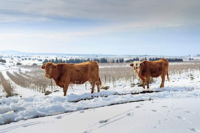 Cows on meadow in rural snowscape. — Stock Photo