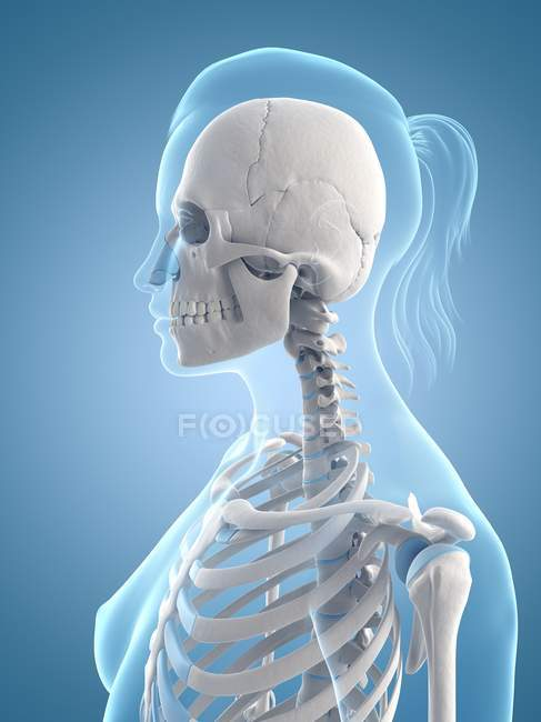 Upper Body Skeletal System Stock Photo 160222540