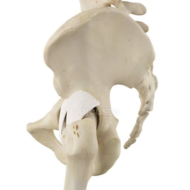 Human Pelvis Bones No One Three Dimensional Stock Photo