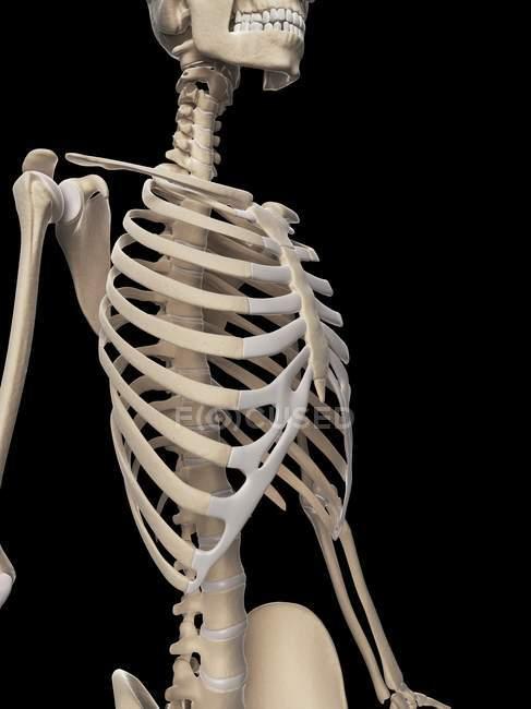Brustkorb und Oberkörper Skelett-Struktur — Stockfoto | #160223062