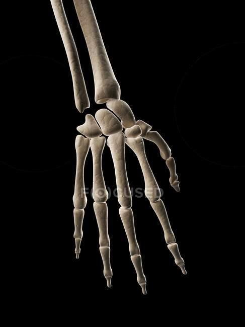 Human hand bones — Stock Photo | #160223134