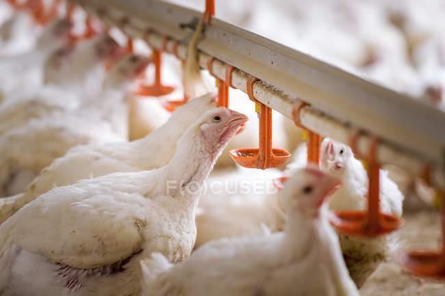 Hühner füttern aus einem Trog — Stockfoto