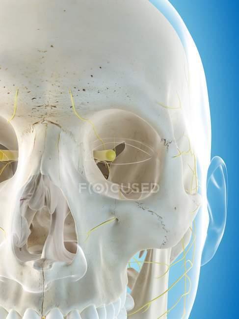 Заделывают лицевого нервов — стоковое фото