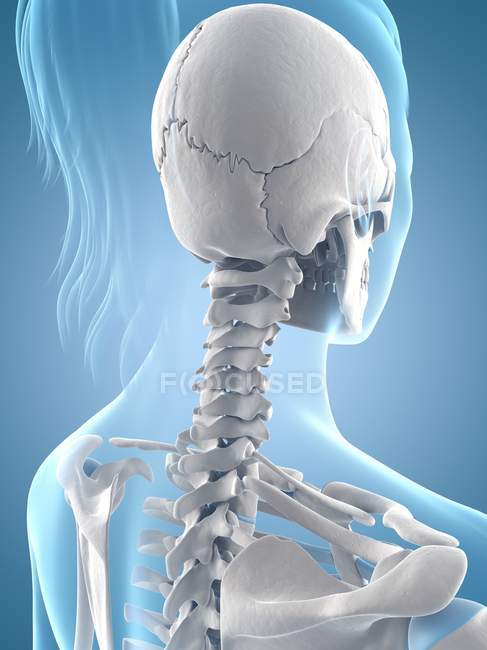 Neck and skull structure — Stock Photo | #160223414