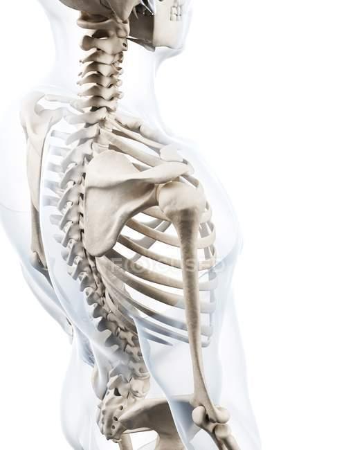 Shoulder girdle bone structure — Stock Photo | #160223620