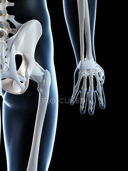 Skeletal anatomy revealing arm bones — Stock Photo | #160223716