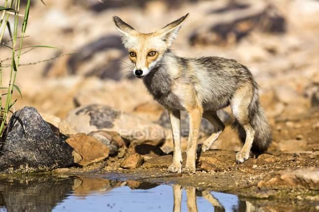 Лисиця руда стоячи водою в дикої природи. — стокове фото