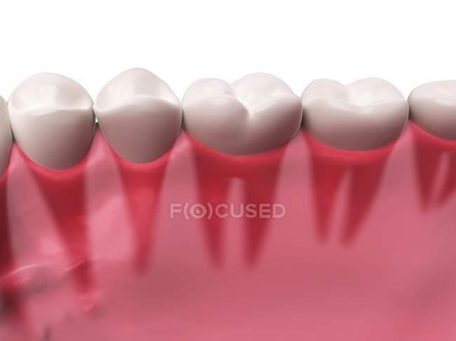 Human Teeth Anatomy White Background Dental Care Stock Photo