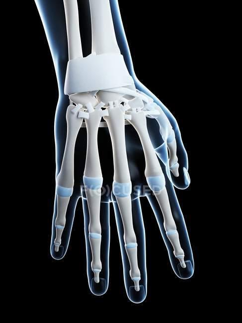 Anatomia de ossos de mão humana — Fotografia de Stock