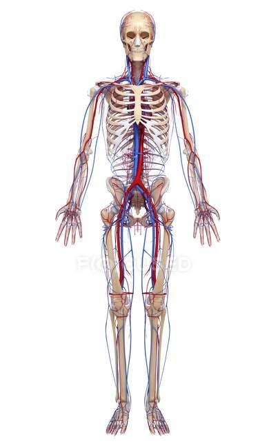 Человеческая сердечно-сосудистая система — стоковое фото