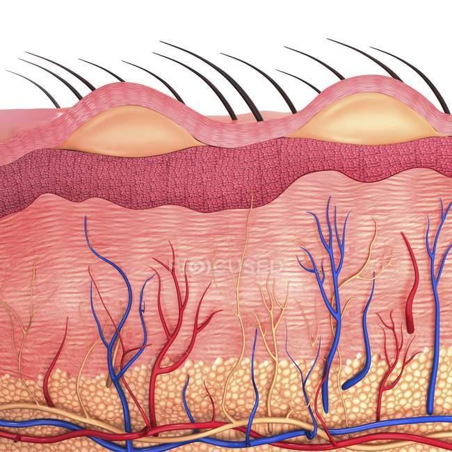 Anatomía de la piel humana y suministro de sangre - foto de stock