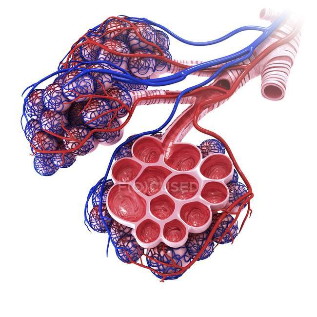 Human alveoli anatomy — Stock Photo