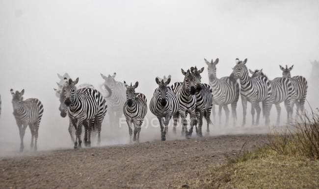 Wanderung von Zebras in der Serengeti, Tansania — Stockfoto
