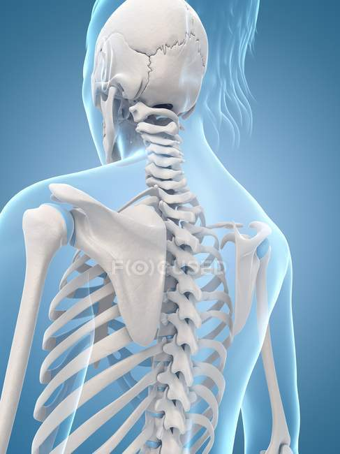 Cervical And Thoracic Spine Regions Stock Photo 160224876