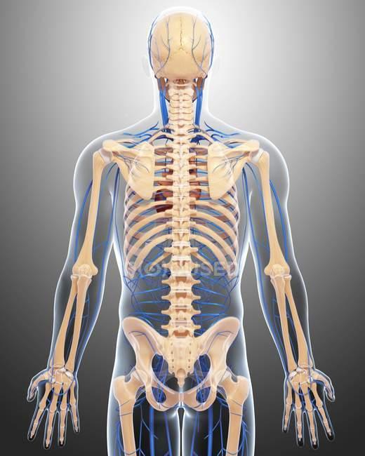 Скелет и сердечно-сосудистой системы взрослого — стоковое фото