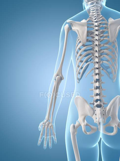Cervical and thoracic spine regions — Stock Photo
