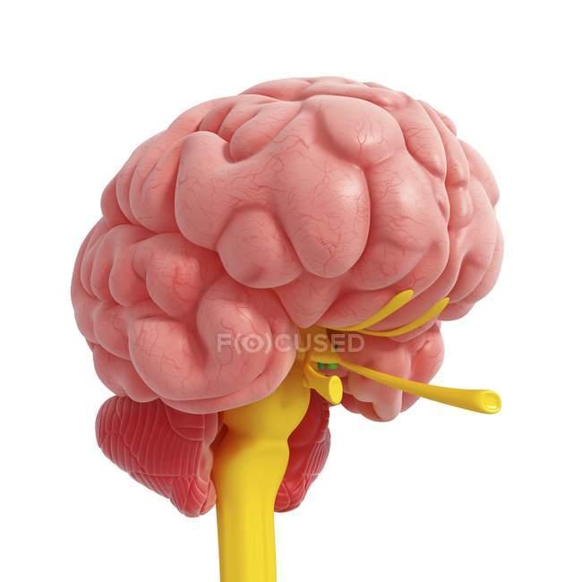 Anatomía de la médula espinal cerebral - foto de stock