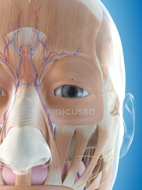 Anatomía facial y musculatura facial - foto de stock