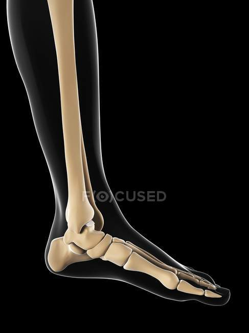 Normal foot bones anatomy — Stock Photo | #160225678
