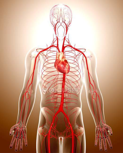 Human cardiovascular system — Stock Photo | #160225838