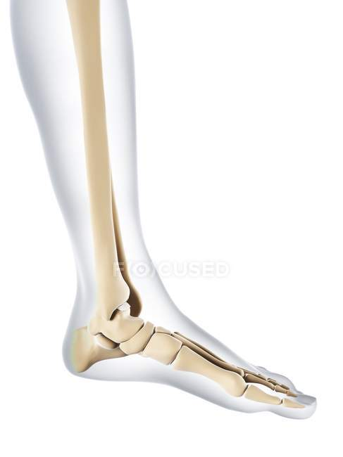 Normal Foot Bones Anatomy White Background Side View Stock