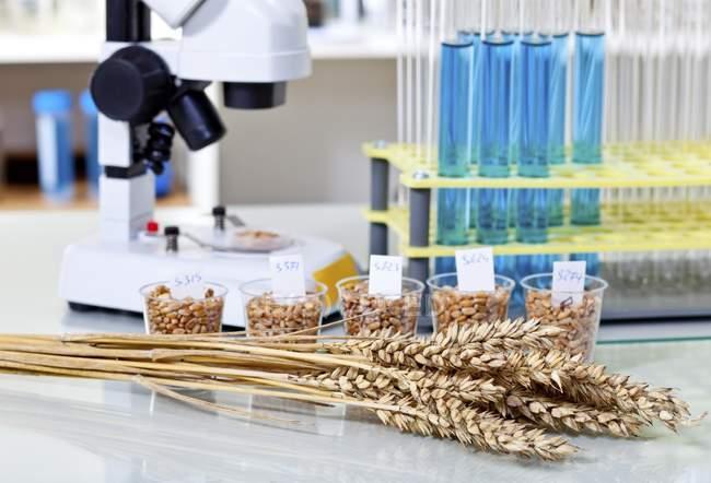 Grãos de trigo e milho em recipientes com equipamento de laboratório para pesquisa de alimentos . — Fotografia de Stock