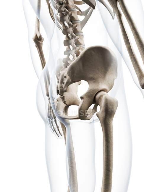 Anatomía estructural de la pelvis humana - foto de stock