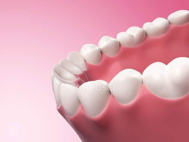 Human teeth anatomy — Stock Photo | #160226306