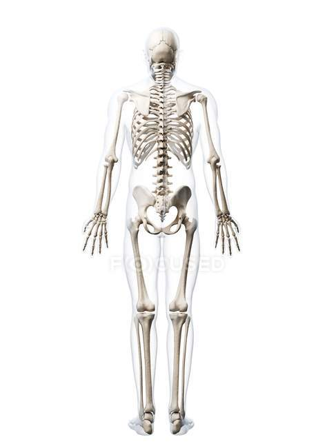 Human Skeletal System Stock Photo 160226334