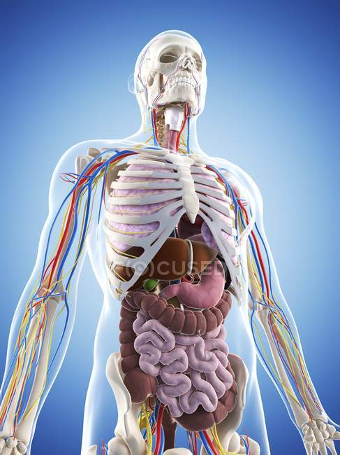 Anatomía superior del cuerpo del varón adulto - foto de stock
