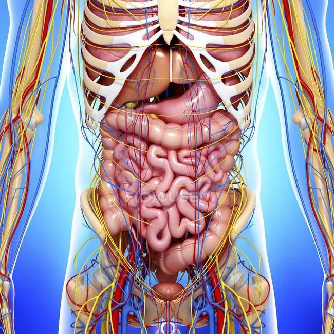 Organi interni, sistema circolatorio e nervoso — Foto stock
