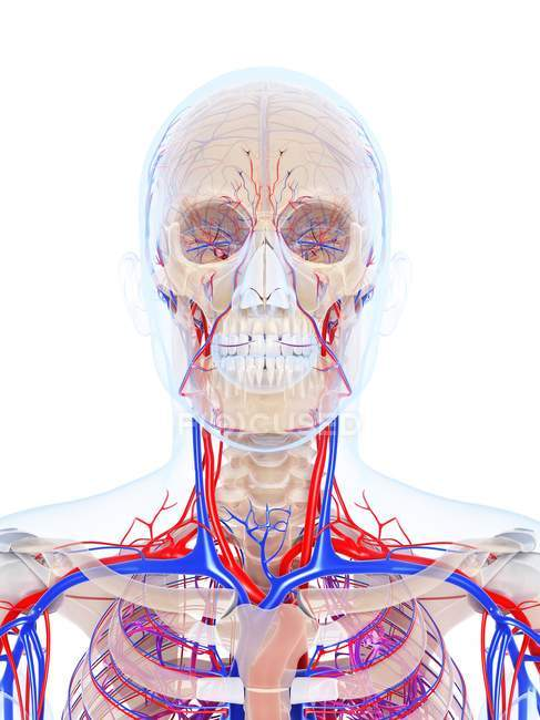 Sistema vascular masculino - foto de stock