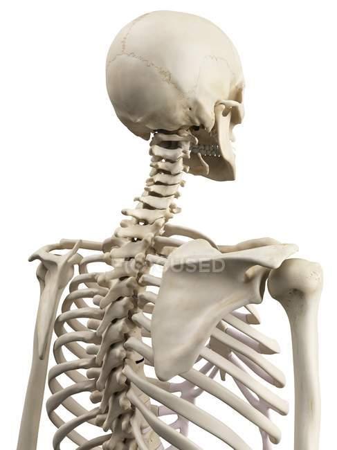 Upper Body Bones Anatomy White Background No One Stock Photo
