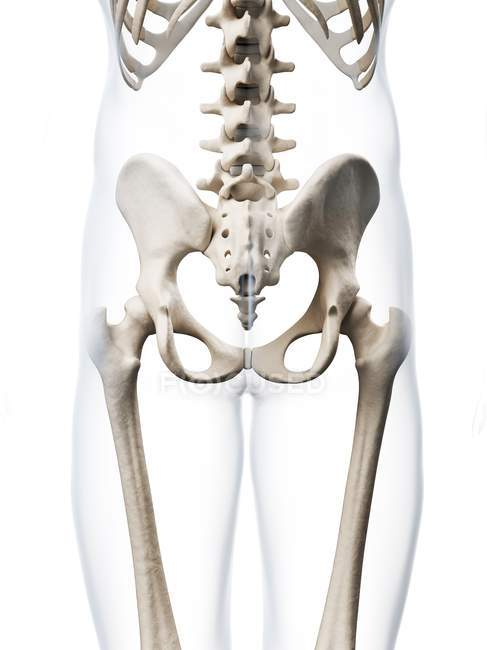 Structural anatomy of human pelvis — Stock Photo | #160226694