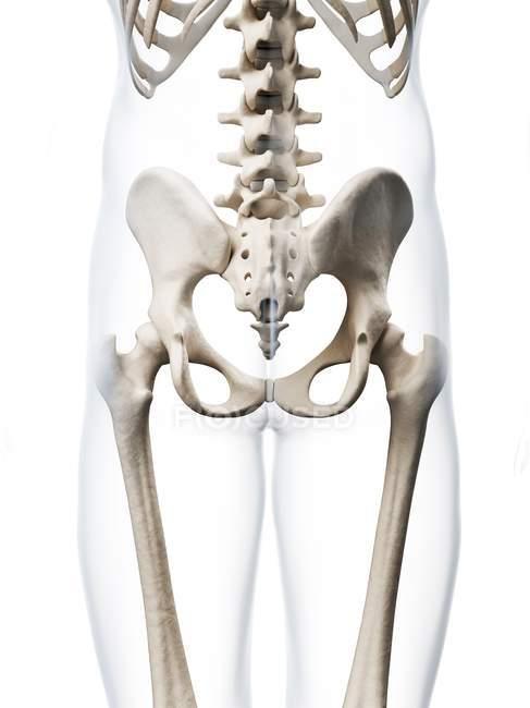 Structural Anatomy Of Human Pelvis White Background Pelvic Bones
