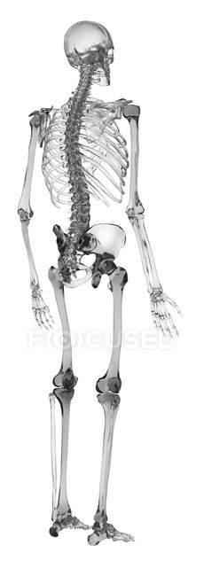 Representación esquemática del sistema esquelético humano - foto de stock