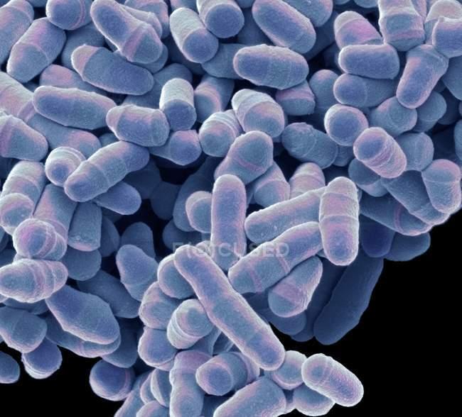 Levadura de esquizosaccharomyces pombe - foto de stock