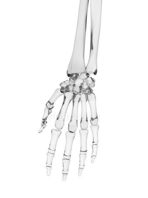 Human hand bones structure — Stock Photo | #160227560