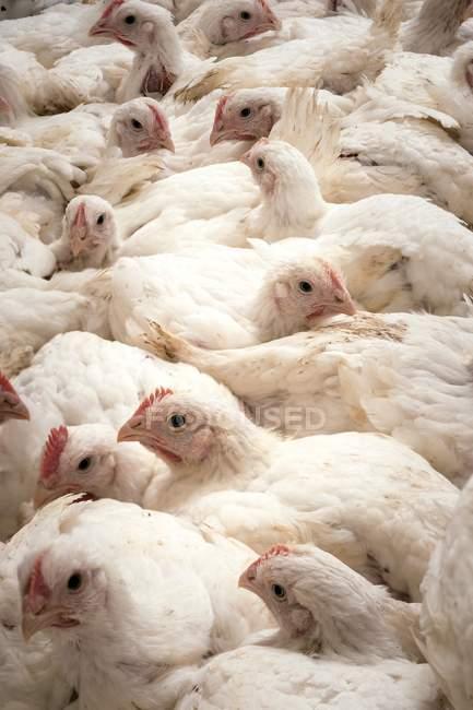 Galinhas de fazenda sentadas juntas em um celeiro — Fotografia de Stock