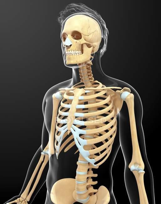Skelett-Systems und Anatomie des erwachsenen Menschen — Stockfoto ...