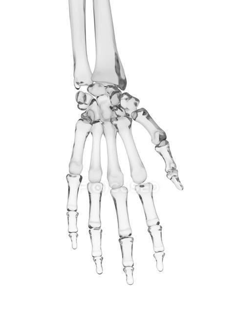 Human hand bones structure — Stock Photo | #160228532