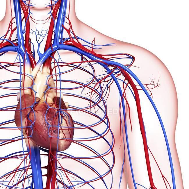 Sistema cardiovascular saludable - foto de stock