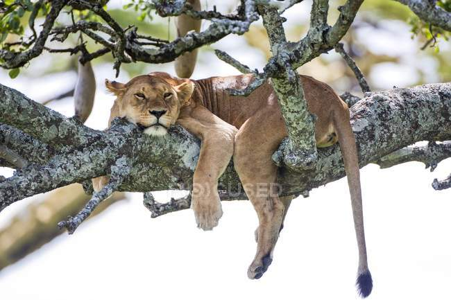 Lioness resting on tree in Tanzania. — Stock Photo
