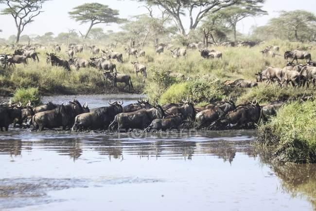 Migrazione annuale di Blue Wildebeest nel Serengeti, Tanzania — Foto stock