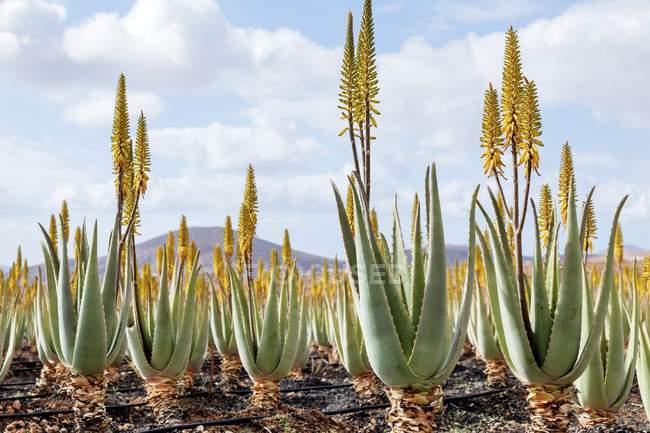 Piante medicinali aloe vera a Fuerteventura, Isole Canarie. — Foto stock
