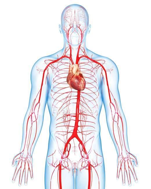 Артерій серцево-судинної системи та скелетна конструкція — стокове фото
