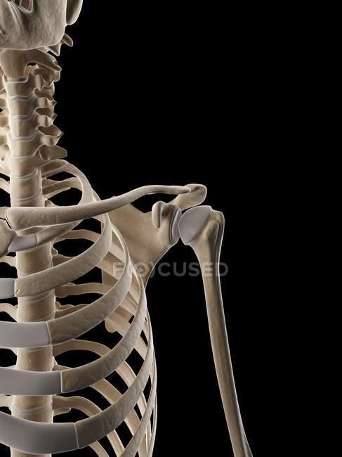 Sistema esquelético humano y anatomía estructural - foto de stock