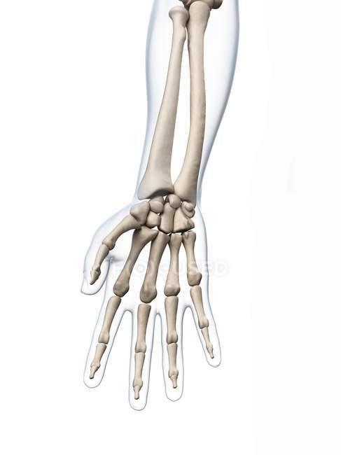 Анатомия костей рук человека — стоковое фото
