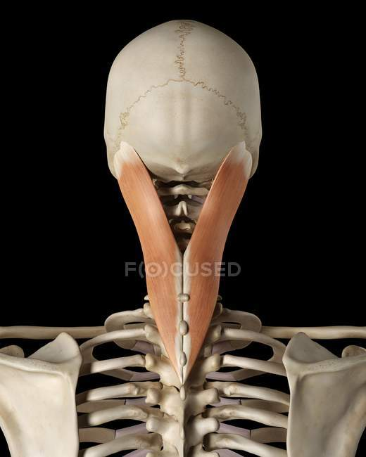Neck Bone Structure And Muscle Anatomy Rear View Black Background