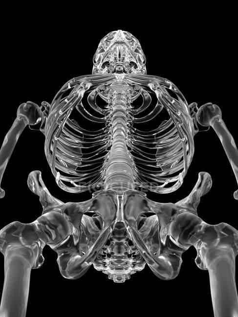 Anatomía esquelética humana - foto de stock